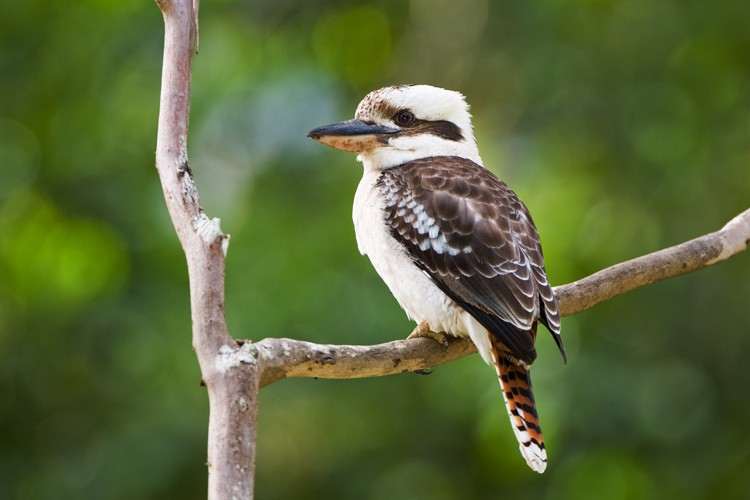 Australia's laughing kookaburra among birds in decline: study