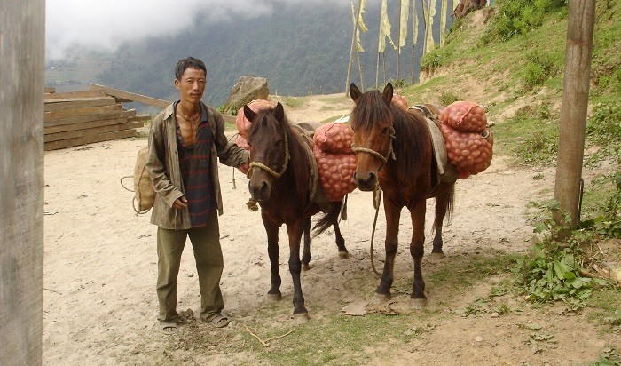 A man carries a large load on his back while walking with his mule to market in Dhremtse, Bhutan
