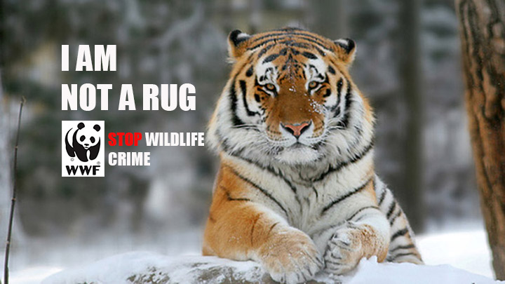 not_a_rug_tiger