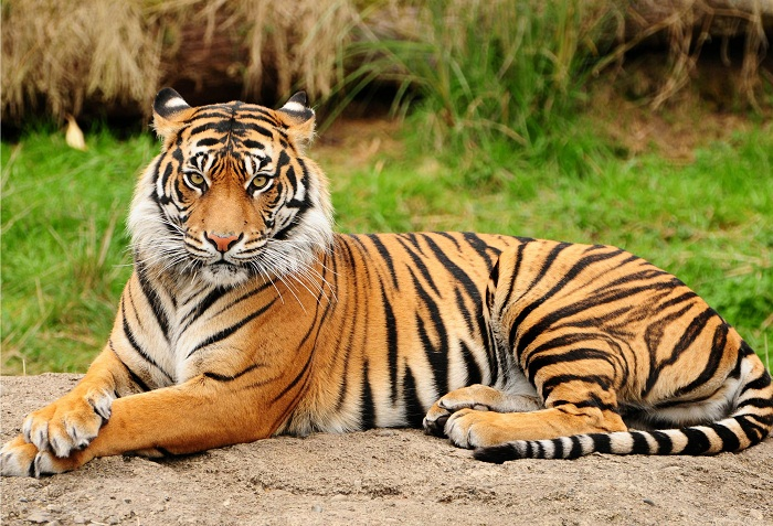 Number Of Wild Tigers Increases For First Time In 100 Years