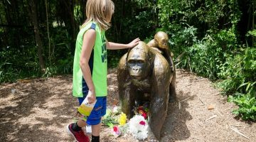 A child touches the head of a gorilla statue where flowers have been placed outside the Gorilla World exhibit at the Cincinnati Zoo & Botanical Garden.
