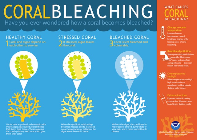 A graphic explaining coral bleaching versus death, from The Great Barrier Reef Marine Park Authority