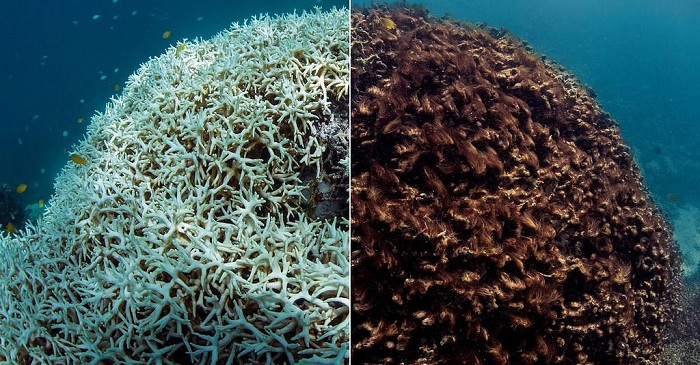 Before and after photos of coral reef bleaching on Australia's Great Barrier Reef. Credit: Catlin Global Reef Record