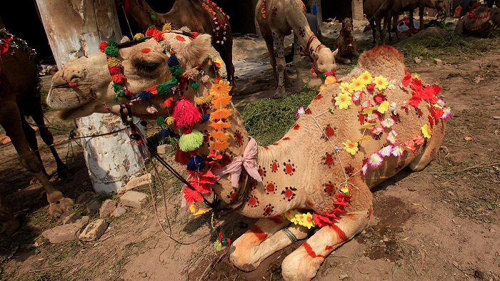 A camel for sale decorated with artificial flowers and henna patterns is seen at a makeshift cattle market before the Eid al-Adha festival in Peshawar, Pakistan. Photo: Fayaz Aziz/Reuters
