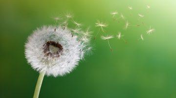 Canberra pollen season