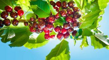 Australian cherry